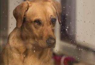 Cão olhando a chuva