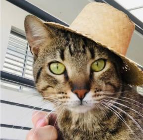 Gato de chapéu festa junina