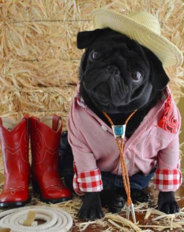 Cão vestido festa junina