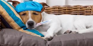 Cão gripe