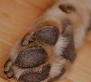 Pata de cachorro