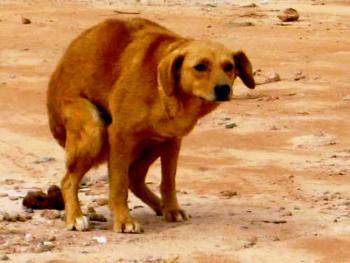 Cachorro bosta passeio