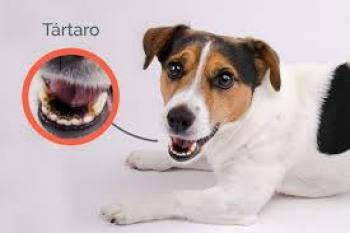 Tártaro canino