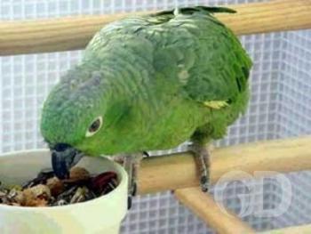 Papagaio  come