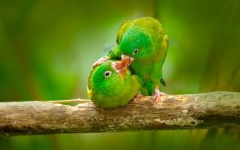 Papagaio dois