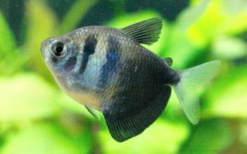 Peixe de aquário