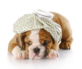 Cachorro com infecção