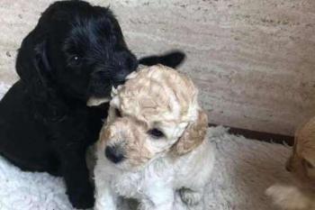 cachorros, adotados, irmaos