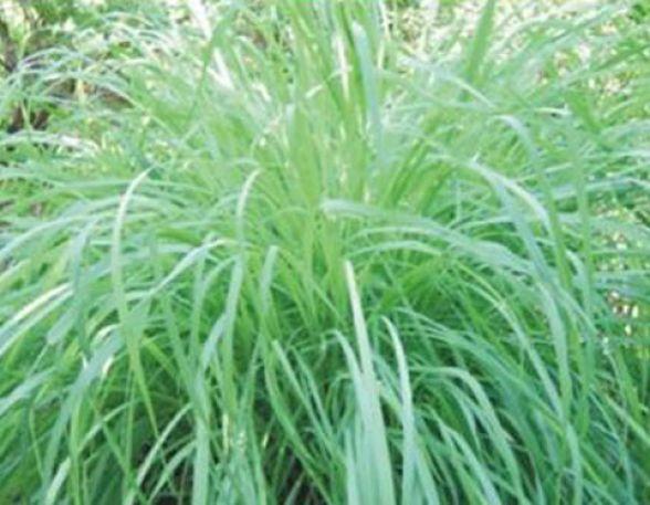 Habita o saud vel seis tipos de plantas que funcionam como repelentes naturais - Plantas contra los mosquitos ...