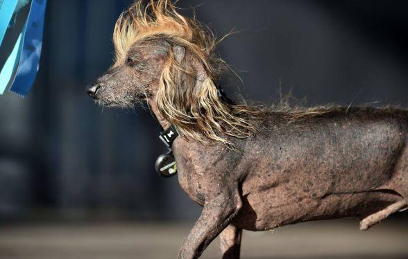 Veja Os Participantes Do Concurso De Cachorro Mais Feio De